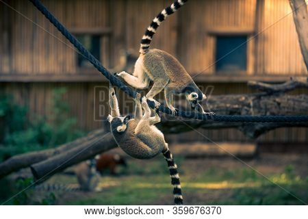 Two Ring-tailed Lemurs Playing And Climbing On The Rope In A Zoo.