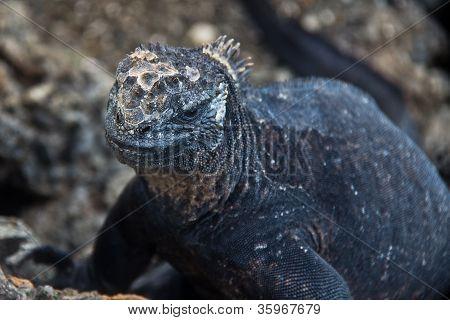 Closeup Of Iguana In Galapagos