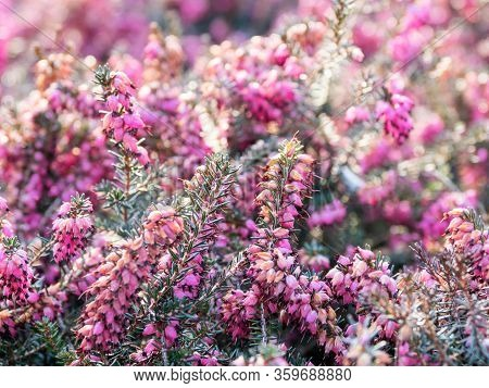 Blooming Calluna Vulgaris, Known As Common Heather, Ling, Or Simply Heather. Natural Spring Backgrou