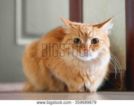 Cute Ginger Cat Sitting On Floor. Fluffy Pet Looks Tense.