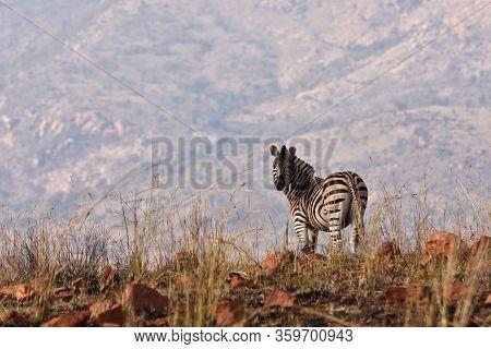 African Plains Zebra In Burnt Grassland (equus Quagga), Rustenburg, South Africa
