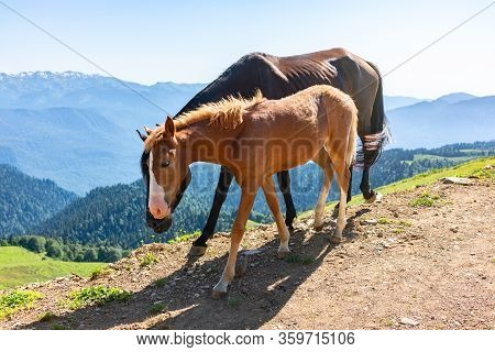 A Foal And A Horse Are Walking Along The Hillside. Red Horse And Foal Graze On The Hillside.