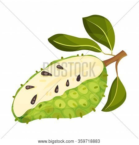 Soursop Fruit Or Guanabana Showing Creamy White Flesh And Black Seeds Vector Illustration