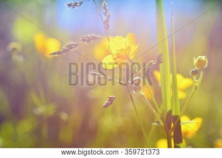 Beautiful Summer Meadow Detail.  Buttercups, Spearworts Or Water Crowfoots. (ranunculus)