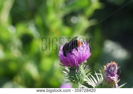 Bumble Bee On Wild Flower In Springtime, Collecting Nectar And Polination Concept