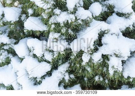 Close Up Of Pine Tree Covered With Snow Frost In Winter. Fir Branch Covered With Fresh Snow. Snow Co