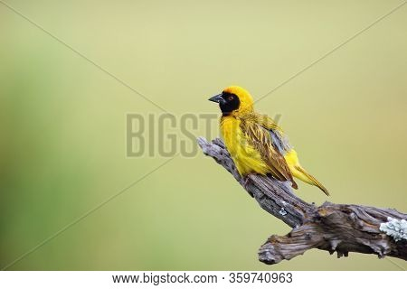 The Southern Masked Weaver Or African Masked Weaver (ploceus Velatus) Sitting On The Branch With Gre