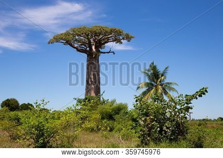 One Particularly Large Baobab Tree In The Vastness Of The Island Of Madagascar