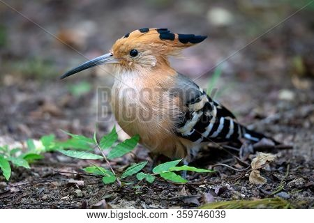 An Endemic Madagascar Hoopoe Bird, With A Colorful Plumage