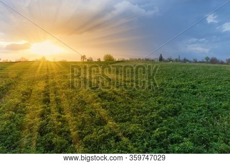 Sunset Over The Field Of The Young Alfalfa Mixed With Other Flowering Spring Plants And Trees On A S