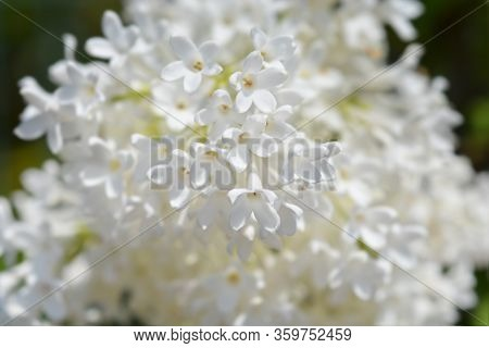 Lilac Agnes Smith Flowers - Latin Name - Syringa Agnes Smith