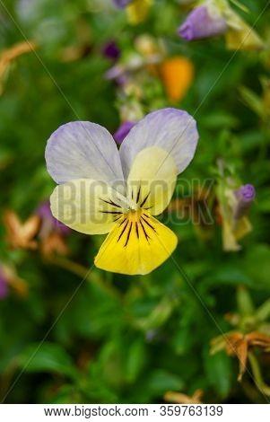 Purple And Yellow Horned Violet (viola Cornuta) Blooming In Flower Bed