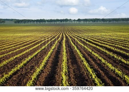 Field of young corn. Agricultural landscape with green rows of sprouted corn. Sunny spring day