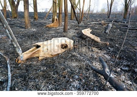 Bones Of Animals Burned In A Forest Fire. Skull Anf Jaw On Ashes Of Burnt Grass Among Burnt Trees. P