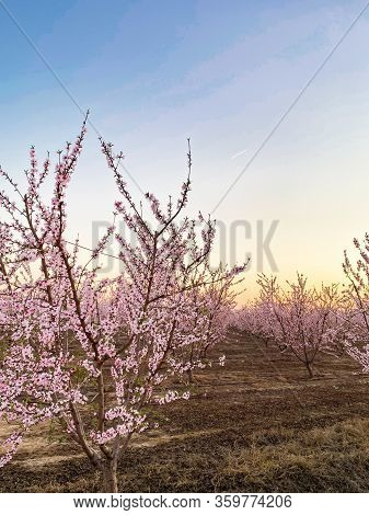 Pink Plum Flower Blossoms At Sunset On Blossom Trail In Central Valley, California, With Copy Space