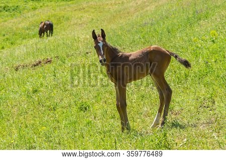 Curious And Timorous Foal Standing On A Summer Pasture While Its Careless Mom Lost Contact With Her