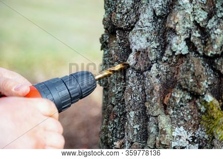 Close Up Of Man Drilling A Hole To Collect Birch Sap. Collecting Silver Birch Juice In Nature. Rural