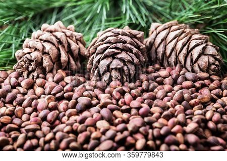 Siberian Cedar Pine Nuts With Cones And Green Coniferous Branches