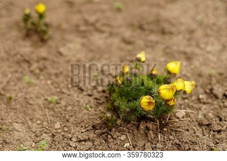 Yellow Flowers Adonis Grow In The Garden Soil