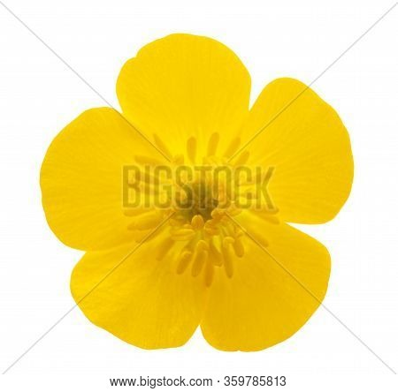 Woolly Buttercup Flower Isolated On White Background