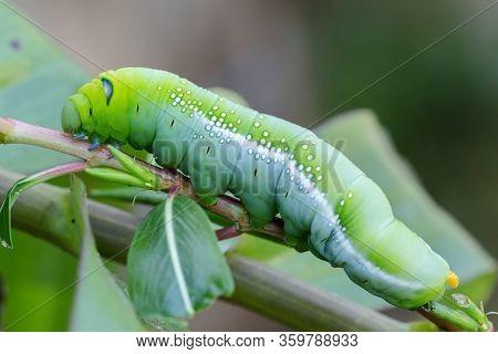 Caterpillar Worm On Tree. Caterpillar Worm Eating Leaves.