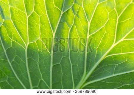 Green Leaf Texture Or Leaf Background. Young Cabbage Green Leaf.