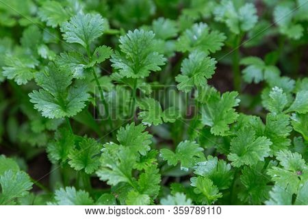 Coriander Leaf Texture And Background. Young Coriander Vegetable.