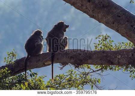 Couple Of Chacma Baboons Seated En Trunk In Backlit In Kruger National Park, South Africa ; Specie P