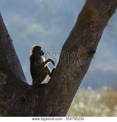 Young Chacma Baboon Seated In A Tree In Backlit In Kruger National Park, South Africa ; Specie Papio