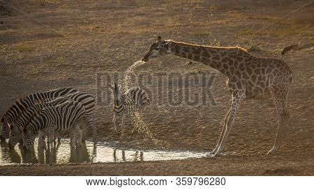 Group Of Plains Zebras And Giraffe Drinking In Waterhole At Dawn In Kruger National Park, South Afri