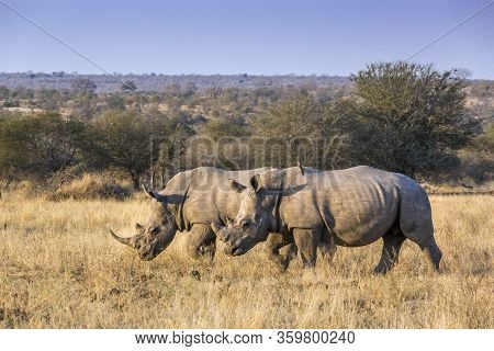 Two Southern White Rhinoceros Walking On Savannah In Kruger National Park, South Africa ; Specie Cer