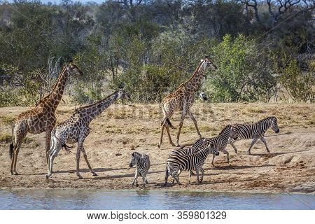 Giraffe And Plains Zebras In Lakeside In Kruger National Park, South Africa ; Specie Giraffa Camelop