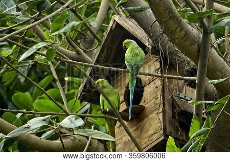 Green Parrots On The Tree Nest House- Couple Of Indian Parrot Siting On The Tree And Looking Their N