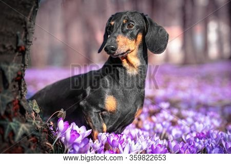 Portrait Of Adorable Dachshund Sits In Beautiful Purple Flowers By Tree Trunk Covered With Leaves Of