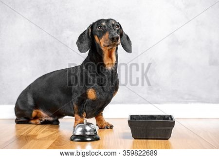 Adorable Smart Dachshund Sits In Room On Wooden Floor, Next To Bowl And Waiter Bell, Grey Wall On Ba