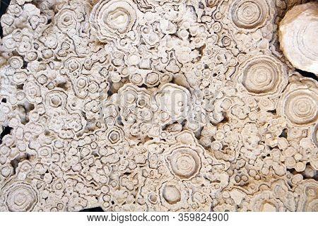 Petrified fossil stromatolite (cyanobacteria, blue-green algae)