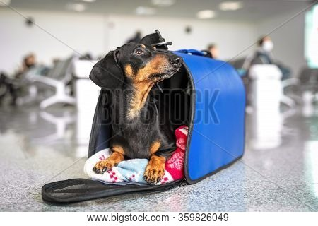 Funny Dachshund Dog, Black And Tan, In His Travel Blue Bag Cage At The Airport. Pet In Cabin. Travel