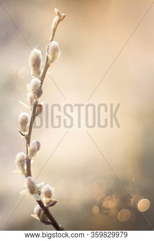 Beautiful Delicate Spring Nature Background With Pussy Willow Branch. Blooming Willow Branch Tree Cl