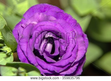 Close Up Purple Giant Rose In Garden