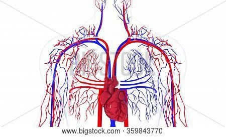 Rotating Model Of The Human Circulatory System. 3d Rendering Blood Vessels. The Medical Background,