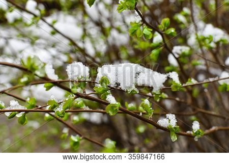 Green Foliage Under The Snow. Sudden Snow. Blizzard. Winter Has Come. Late Autumn Or Early Spring.