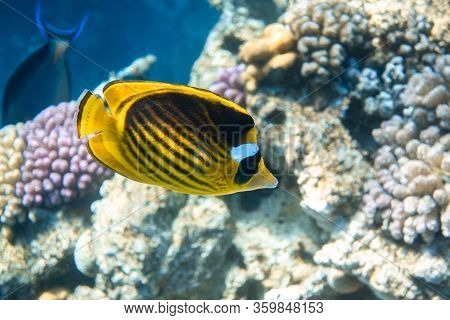 Raccoon Butterflyfish (chaetodon Lunula) Over The Coral Reef, Clear Blue Turquoise Water. Colorful T