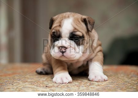 Cute Small American Bulldog Puppie, Small American Bulldogs Puppie With Cute Wrinkles