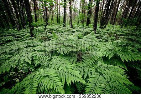 Beautiful Nature Background Of Vivid Green Ferns. Backdrop Of Lush Fern Thickets Close-up. Chaotic R
