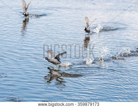 A Flock Of Water Fowl Run Across The Water As They Come To An Aquatic Landing