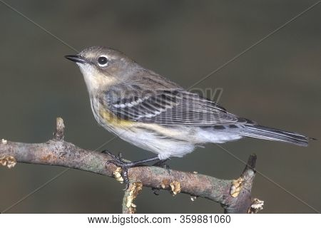 Save Download Preview A Yellow-rumped Warbler, Setophaga Coronata In Non-breeding Plumage In Late Au