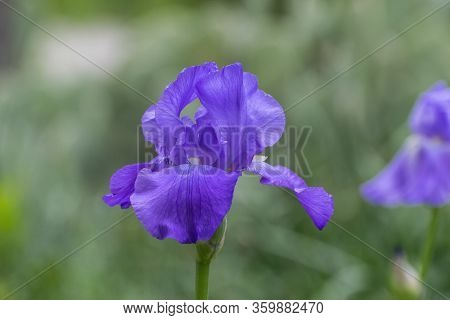 Closeup Of A Beautiful And Delicate Purple Bearded Iris Flower In Full Bloom In A Garden With A Blur
