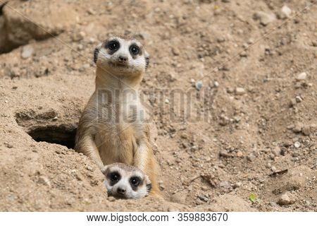 Cute Meerkat ( Suricata Suricatta )