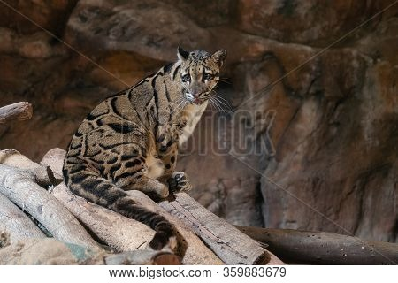 Clouded Leopard Close Up Portrait