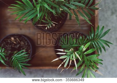 Small Parlour Palm Plants Indoor On Wooden Tray